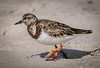 • Location - Playalinda Beach • Ruddy Turnstone