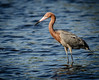 • Location - Bio Lab Road Merritt Island National Wildlife Refuge • Reddish Egret