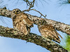 • Location - Moccasin Island Tract Road • A pair of Barred Owls
