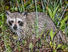 • Location - Viera Wetlands • Baby Raccoon