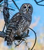 • Location - Fellsmere Rd in Kenansville • Barred Owl