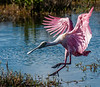 • Location - Merritt Island Wildlife Refuge • Roseate Spoonbill coming in for a landing