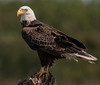 • Location - Viera Wetlands • Bald Eagle