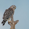 • Location - Viera Wetlands • Juvenile Red-shouldered Hawk
