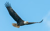 • Location - Three Lakes Wildlife Management Areas • Bald Eagle in flight and has something to say