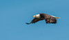 • Location - Three Lakes Wildlife Management Areas • Bald Eagle in flight