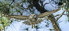 • Location - Moccasin Island Tract Road • Barred Owl in flight