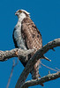 • Location - Merritt Island Wildlife Refuge • Osprey