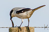 • Location - Moccasin Island Tract Road • Loggerhead Shrike in the process of eating something