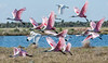 • Location - Merritt Island Wildlife Refuge • A flock of Roseate Spoonbill taking off
