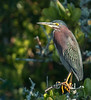 • Location - Merritt Island Wildlife Refuge • I really liked the lighting on this Green Heron