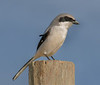 • Location - Moccasin Island Tract Road • Loggerhead Shrike