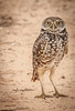 • Location - Brian Piccolo • Burrowing Owl