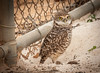 • Location - Brian Piccolo • Burrowing Owl - Now you can see how big the Burrowing Owls are.
