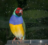 • Location - Butterfly World • Gouldian Finch