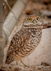 • Location - Brian Piccolo • Burrowing Owl - I can see you up there