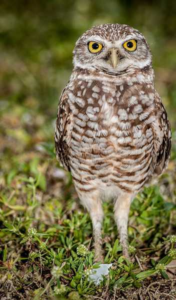 • Location - Brian Piccolo • Burrowing Owl - Enough photos already