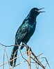 • Paynes Prairie Preserve State Park Lau Chau Trail • Just a Common Grackle complaining