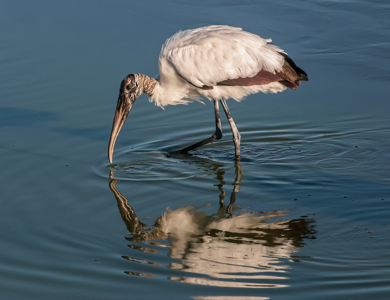 Wood Stork looking for something to eat