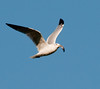 Great Black-backed Gull in flight with fish