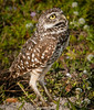 • Location - Brian Piccolo Park • Burrowing Owl