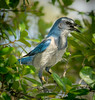 • Location - St. Sebastian River Preserve State Park<br /> • I was able to capture this lonely Scrub Jay while walking on one of the trails