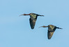 • Location - Stick Marsh<br /> • A pair of Glossy Ibis in flight