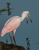 • Juvenile Roseate Spoonbill • OK enough photos already