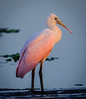 • Juvenile Roseate Spoonbill • How do you like the portrait of me?
