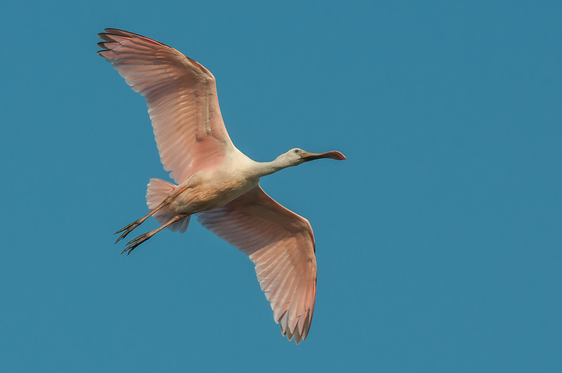 • Juvenile Roseate Spoonbill • In flight