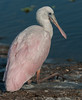 • Juvenile Roseate Spoonbill • Just taking a rest