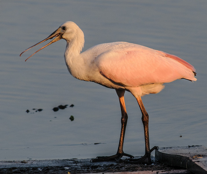 • Juvenile Roseate Spoonbill • Hey mom, where is my breakfast?