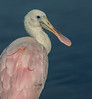 • Juvenile Roseate Spoonbill • A close-up