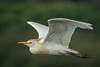 • Location - Stick Marsh • Cattle Egret In flight