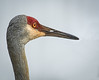 • Location - Wild Florida • Close-up of a Sandhill Crane