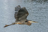• Location - Stick Marsh • Great Blue Heron in flight