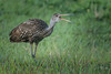• Location - Stick Marsh • Limpkin telling me to get out of here