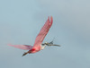 • Location - Stick Marsh • Roseate Spoonbill Bringing material back to its nest