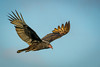 • Location - Stick Marsh • Turkey Vulture In flight