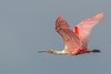 • Location - Stick Marsh • Roseate Spoonbill In Flight