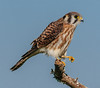 • Location - Moccasin Island Tact • American Kestrel clenching its talon