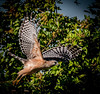 * Location - Dan Click Ponds • Red-shouldered Hawk ready for take-off
