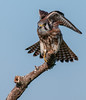 • Location - Moccasin Island Tact<br /> • American Kestrel ready to take off