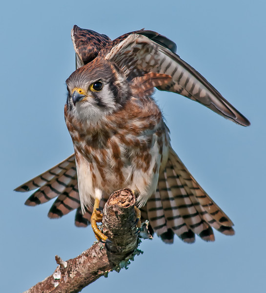 • Location - Moccasin Island Tact • American Kestrel ready to take off.  I enhanced this photo more than the previous one.  What do you think of this one?