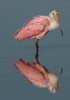 * Location - Dan Click Ponds • Roseate Spoonbill with its reflection