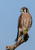 • Location - Moccasin Island Tact • American Kestrel stately