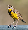 • Moccasin Island Tract • Eastern Meadowlark calling for its mate