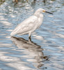 • Green Cay Wetlands • Snowy Egret