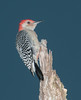 • 50th Street in Wellington<br /> • Red-Bellied Woodpecker