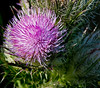 • Location - Black Point Drive • I was bored so I took a photo of a Horrible Thistle